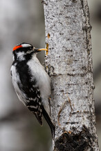 Downy Woodpecker (Dryobates Pubescens) Bird Perched Eating Bugs And A Worm From A Tree Trunk Canadian Wildlife Background