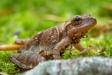 Profile View Of A Spring Peeper (Pseudacris Crucifer). Raleigh, North Carolina.