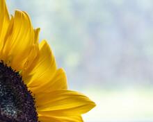 Sunflower Petals Against Large Blue Copy-space