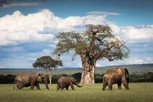 Beautiful Elephants During Safari In Tarangire National Park, Tanzania With Trees In Background.