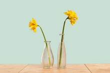 Two Yellow Daffodils Flowers In Two Different Shape And Size Modern Textured Glass Vases On Tender Green. Centered. Spring Or Gift And Celebration Of Diversity And Difference Concept