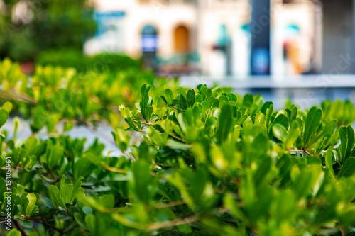 Foto Green trimmed bush, city decoration, close up