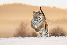 A Beautiful Siberian Tiger On A Winter Day And Amazing Warm Light. The Breath Coming Out Of His Mouth, Soft Tones And Everything Covered In Snow. Endangered Mammal Which Needs Our Protection.