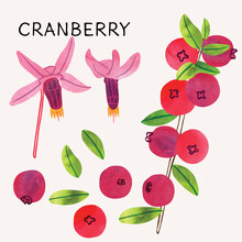 Cranberry Illustration Vector Set With Watercolor Texture And Line Art. Hand Drawn Fully Isolated Modern Colorful Design Elements Ideal For Health Product Packaging, Brochures, Web And More.