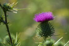 Close Up Of A Single Purple Flowering Thistle Against A Green Background