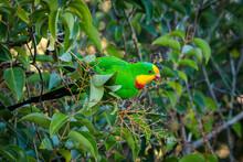 Superb Parrot Male In A Garden, Hughes, ACT, April 2021