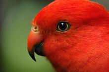Australian King Parrot - Adult Male