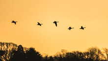 Canada Goose, Branta Canadensis - Canada Geese In Flight On The Sunset