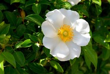 Beautiful Cherokee Rose At Garden Area The State Flower Of Georgia, USA
