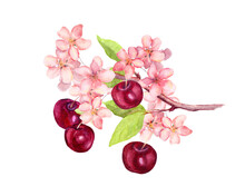 Branch With Cherry Berries, Flowers Blossom Sakura . Watercolor Botanical Illustration