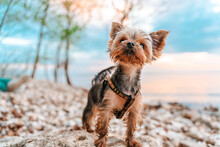 Adorable Little Yorkshire Terrier Dog Stands On A Rock With A Beautiful Sunset View Over The River