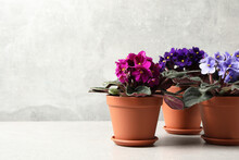 Beautiful Potted Violets On Light Grey Table, Space For Text. Delicate House Plants