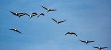 Large Flock Of Cranes Flying In Blue Spring Sky. Bird Migration Time..