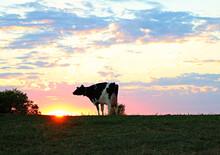Holstein Cow On The Farm At Sunrise
