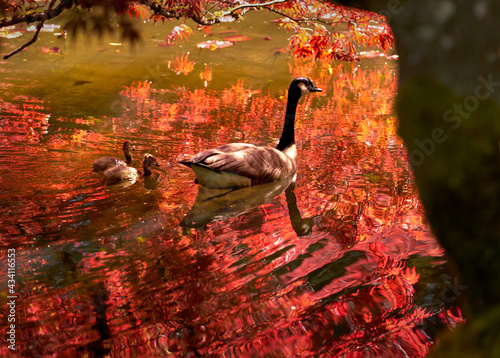Red Maple Canada Goose and Goslings Fototapeta