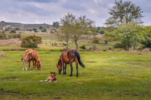New Forest Ponies In Summer