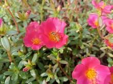 A Bee Sucks Honey On A Flower Callirhoe Involucrata ( Purple Poppy Mallow )