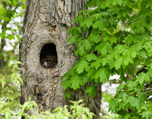 Empty Owl's Nest In The Trunk Of The Tree