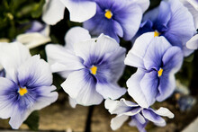 Closeup Shot Of White And Purple Violas Blooming In The Garden