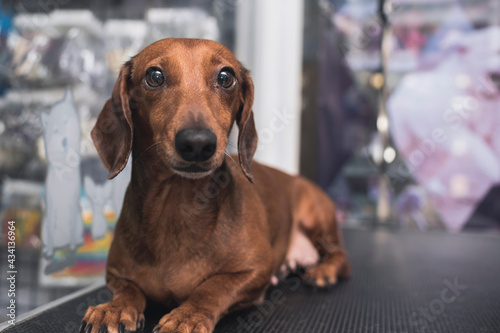 Photo A curious but uneasy brown dachshund lies on a pet groomers table prior to an ear cleaning session