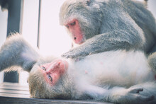Two Formosan Macaques Live In Shoushan National Nature Park Of Kaohsiung City, Taiwan, Also Called Macaca Cyclopis.