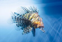 Lionfish Swims Underwater In Warm Tropical Seas.