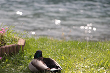 Closeup Shot Of A Duck On Fresh Green Grass With A Lake In The Background