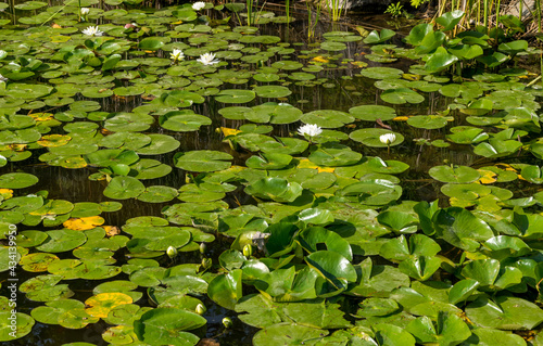 Fotografie, Obraz water lilies in the pond