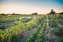 A Fantastic View Of A Field That Is Individually Cultivated With Vegetables And Flowers. This Concept Is Rent-a-field. The Picture Was Taken At Sunset.