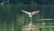 Adult Black-crowned Night-Heron(Nycticorax Nycticorax Hoactli) Flying Over Wetlands