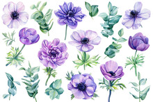 Set Of Flowers Anemones, Branches And Leaves Of Eucalyptus On A White Background, Watercolor Botanical Illustration