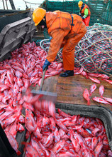 Fishermen Unload The Caught Fish Atlantic Bass Beak Into The Hold From A Fishing Trawl
