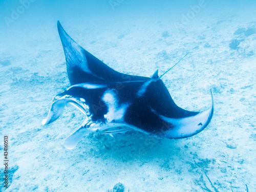 Fotografie, Obraz Manta ray at the bottom of the Indian Ocean