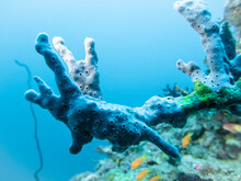 A Blue Sea Sponge Of Fantastic Color And Shape On A Coral Reef At The Bottom Of The Indian Ocean