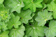 Full Frame Greenery Background - Lady's Mantle (Alchemilla Mollis) Leaves With Drops Of Morning Dew.  High Resolution Image Ideal For Interior Decoration In  Healing By Nature Fine Art Design Style.
