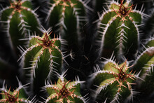 High Angle Green Echinopsis Pachanoi Cacti With Sharp Prickles Growing On Plantation In Daylight