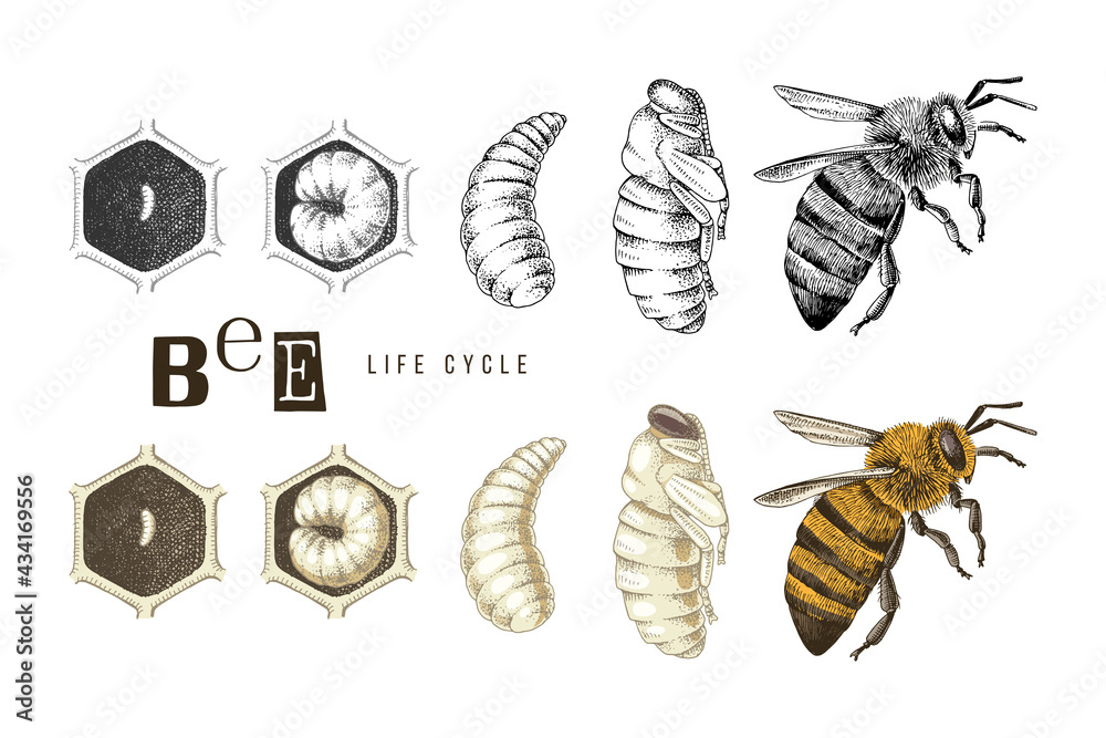 Fotografie, Obraz Hand drawn life cycle of a bee