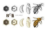 Hand drawn life cycle of a bee - 434169556