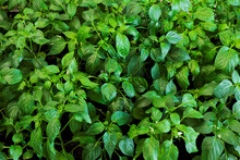 Close-up Plant Foliage Background. Young Chili Plants Leaves. Own Vegetables At Home.