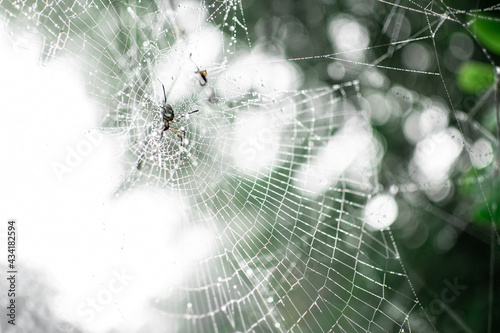 Tela A spider in its spider web with dew rain drops, Myanmar