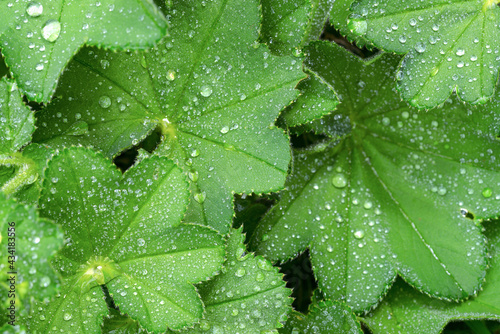 Fotografie, Obraz Full frame greenery background - Lady's Mantle (Alchemilla mollis) leaves with drops of morning dew