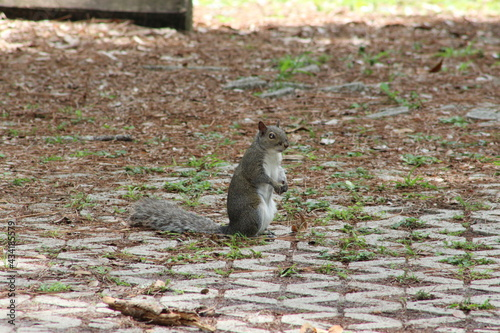 Canvastavla Squirrel standing on his hind legs