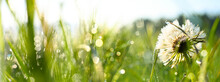 Blowball And Green Grass With Morning Dew Background