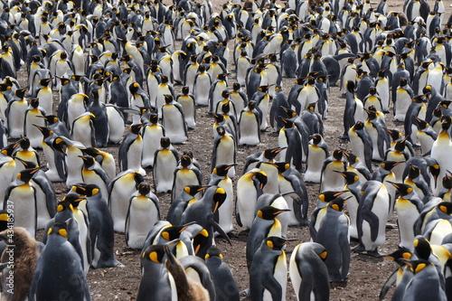 King penguin colony Fototapet
