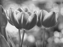 Tulips In The Garden In Black And White