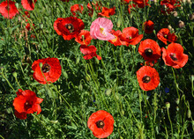 Red Poppy Flowers Background. Papaver Rhoeas, Corn Poppy, Or Flanders Poppy Red Flowers, Buds And Capsules With Seeds.