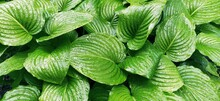 Hosta, A Genus Of Perennial Herbaceous Plants Of The Asparagus Family. Horticulture And Landscape Design. Shade-tolerant Ornamental Deciduous Plants. Green Leaves With Water Drops