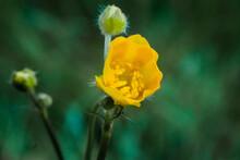 Yellow Poppy Flower