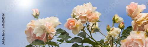 Fotografie, Obraz 薔薇と青空