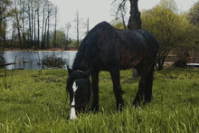 The Horse Is Grazing In The Pasture. Beautiful Black Horse Grazing On A Green Meadow In Spring.